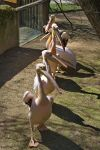 The great white pelican by Serunate