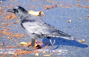 Crow Nr 5 by Limited-Vision-Stock