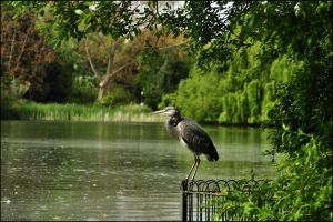 Watching (Grey Heron 5) by Somebody-Somewhere