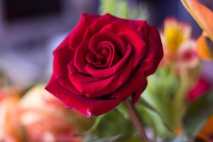 red rose by unread-story