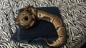 Sebastian:Male:Normal:Ball Python2 by Easily-Distracted-15