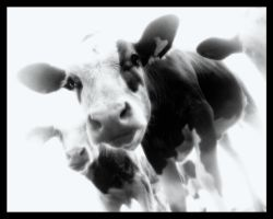 i dream in cows by x-vegan-x