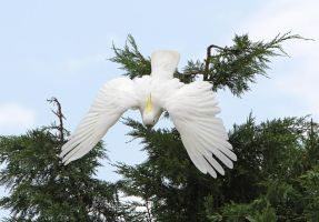 Sulphur Crested Cookatoo 79 by chezem