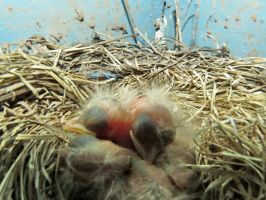 BAD SHOT ,of the baby Robins by Nipntuck3