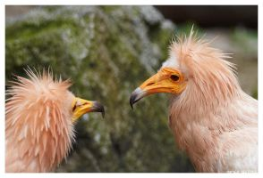 Egyptian Vulture 1 by OrcOPhoto