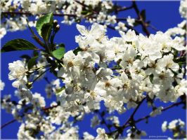 cherries in bloom. by panna-poziomka