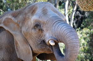 Elephant Close Up by AnxietyPatient