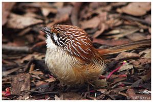Striated Grasswren by Belldandy1