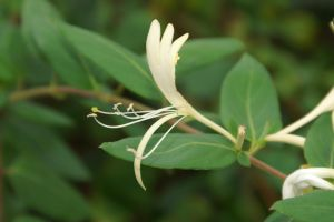 Lonicera Japonica by Nocturneon