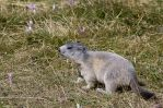 Baby marmot by Duwacell