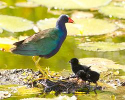 Purple Gallinule by Jamie-MacArthur