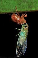 Molting Cicada by robbobert