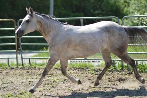 Grey quarter horse elavated trot by equustock