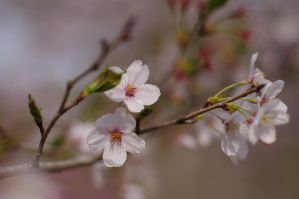 The Last Sakura by djbynum