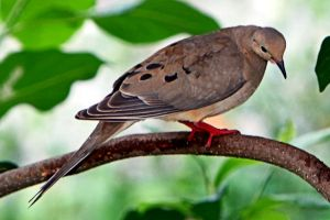 Mourning dove by clippercarrillo
