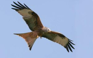 Feeding time - Red Kite by Jamie-MacArthur