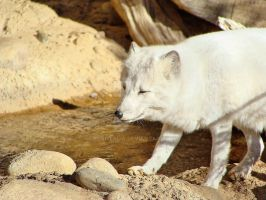 Arctic Fox by Feantalia