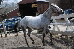 Appaloosa 19 by Spotstock