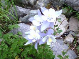 Columbine by daljs