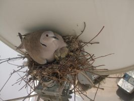 Cuib de gugustiuci - Pigeon nest - Mother and baby by Maysa2010