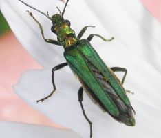 Beetle Oedemera Nobilis female by iriscup