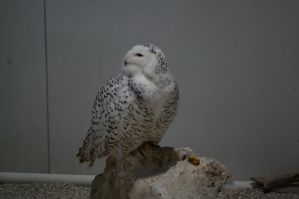 Snow Owl by OverStocked