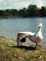 Swan. by TinaaKc