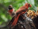 Wet Cardinal and Grosbeak by MichelLalonde