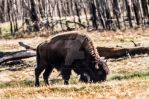 Plains Bison - 4987 by creative1978