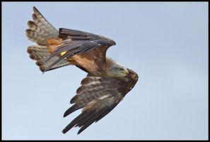 Red Kite by nitsch