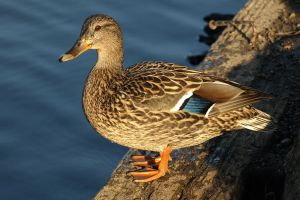 Female Mallard Duck by Endaewen