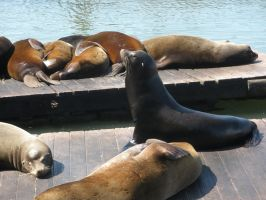 Sea Lions by pisthelimit