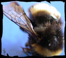 Bumble Bee by myceliae