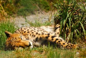 Sleeping Cheetah by Mad-Murphy