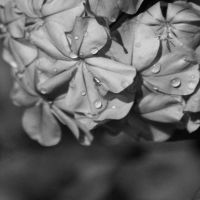 dewdrops Black and White by marisamudd
