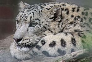 :SnowLeopard: by WhiteSpiritWolf