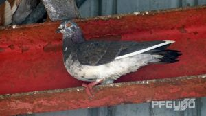 Pigeon In The Rafters [SHOT 2] by pfgun0
