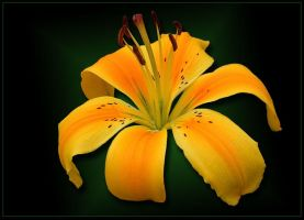 SINGLE YELLOW LILY by THOM-B-FOTO