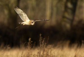 Try again - Short-eared owl by Jamie-MacArthur
