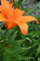 orange lily by toni4bologna