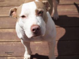 Allie the Pit Bull by KandusJohnson