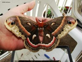 Cecropia Moth 1 by seto2112