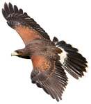 Harris Hawk cutout by EdgedFeather