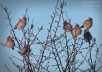 Waxwings on the tree by Elainuarphoto