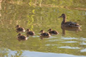 Mallard mother by theGuffa
