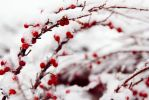 Winter Berries by alkimh