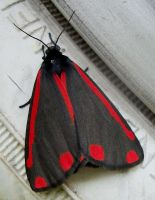 Cinnabar Moth by S4MMY4RT