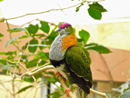 Fruit Dove. by gee231205