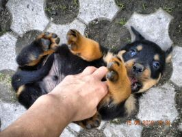 Rottweiler puppy3 by Whispery
