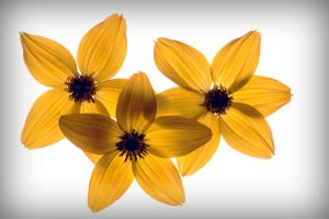 Yellow Flowers by PascalsPhotography